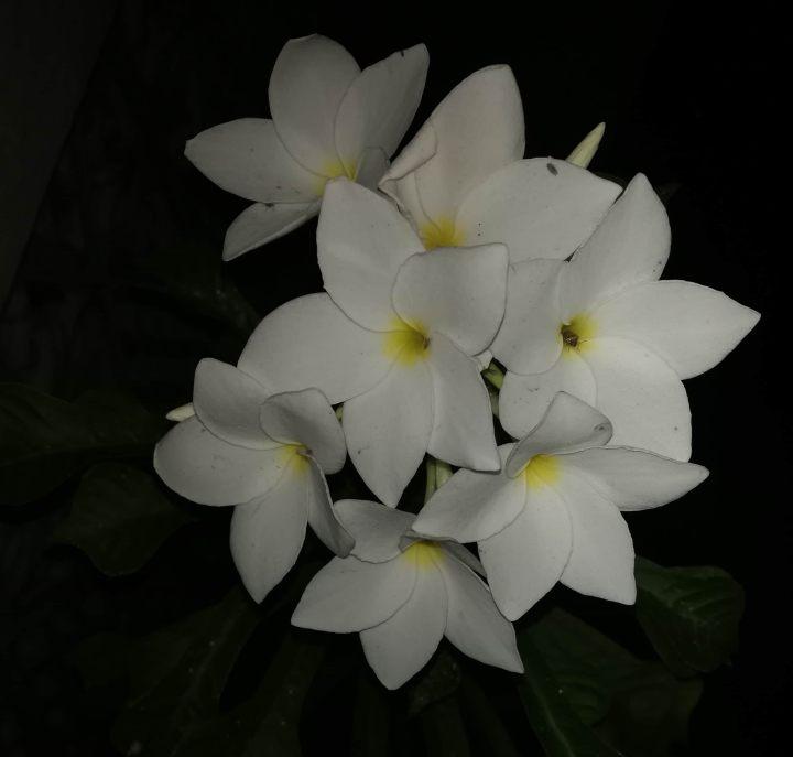 Plumeria White and Yellow Flowers