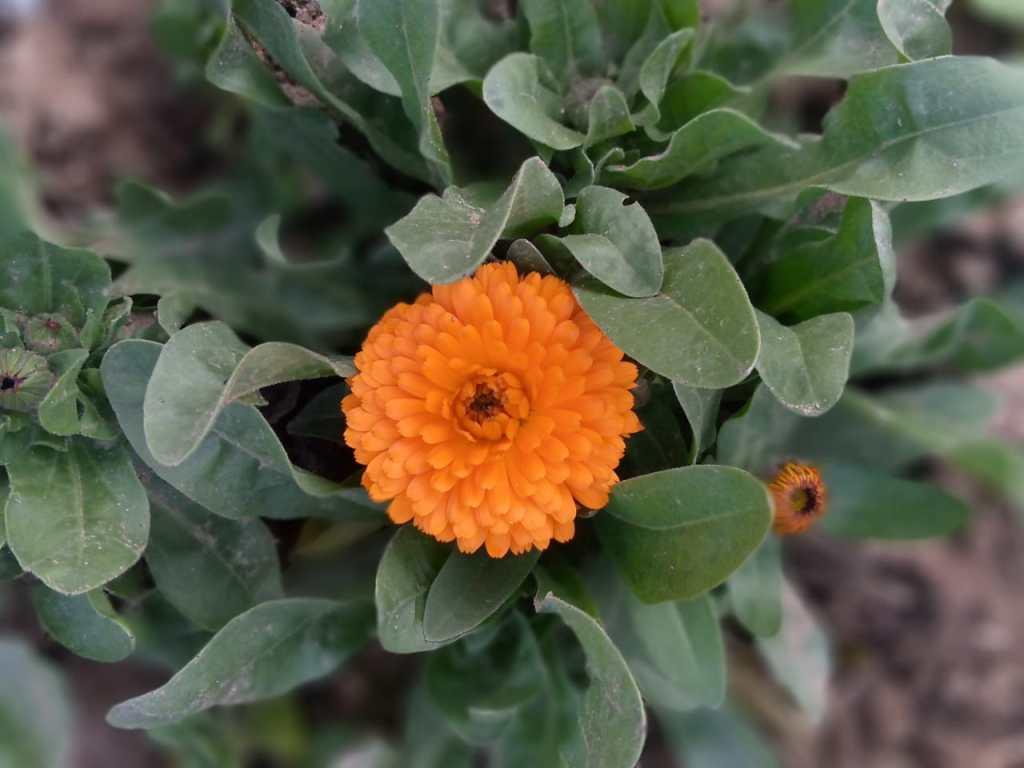 Dahlia Yellow Flowers